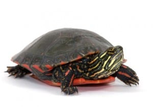 painted-turtle1-a7673a77